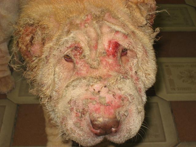 Чума собак ( Чумка ) - высококонтагиозная вирусная болезнь, характеризующаяся лихорадкой, общей интоксикацией...